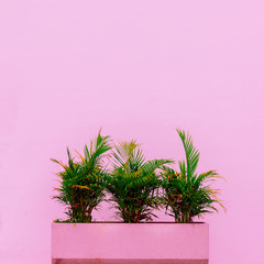 Palm and geometry. Minimal. Plants on pink concept. Tropical pink mood