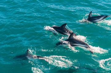 Delfin Gruppe in Kaikoura, Neuseeland 2