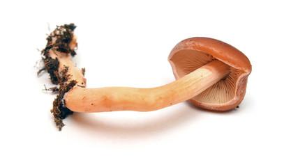redlead roundhead mushroom