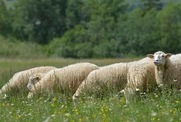 herd of sheep crosses the green meadow