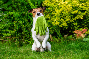 Dog holding in mouth gardening gloves sitting on hind paws