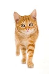 Rot getigertes Kätzchen läuft auf die Kamera zu - isoliert auf weißem Hintergrund