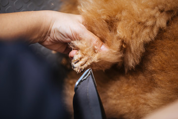Dog grooming process. Close up shot of professional groomer trimming dog's claws.