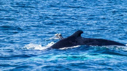 Dorsal fin on the Humpback whale. Dominican Republic.