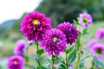 紫色のダリアの花