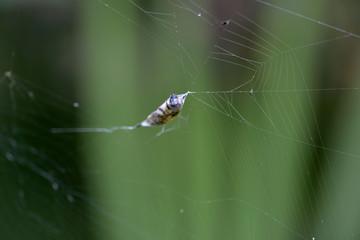 Cocon de nourriture d'une araignée