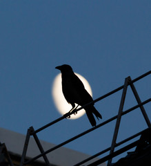 Black crow sitting on the roof and croaks against full moon at night