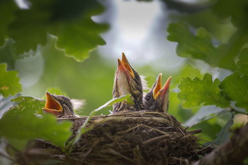 A close up of the nest of thrush with babies.