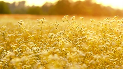 Fotoväggar - Beautiful meadow with wild flowers over sunset sky. Field of camomile medical flower, Beauty nature background. Slow motion 4K UHD video 3840x2160