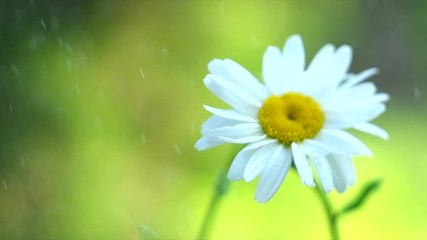 Fotoväggar - Chamomile flowers field close up with rain drops, watering Daisy flowers. Beautiful nature scene with blooming medical chamomilles. Gardening. Slow motion 4K UHD video 3840x2160