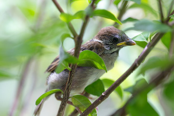 Young sparrow bird holding on tree branch