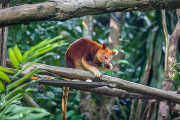 Foto op Plexiglas Kangoeroe Tree kangaroo sitting on a tree branch and eating eucalipt leaf