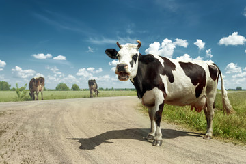 Aluminium Prints Cow Spotted cow grazing on a beautiful green meadow against a blue sky. Livestock, farming.