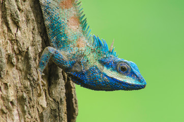 Blue Lizard with big eyes in closed up details, like small reptile with nice details on its painted body