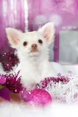 Chihuahua mit Weihnachtsdekoration