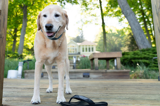 Labrador Retriever at summer house