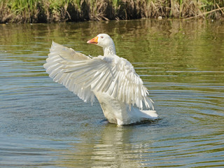 A white goose flapping wings in the river to shake off excess water