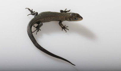 Usual gray lizard on white background