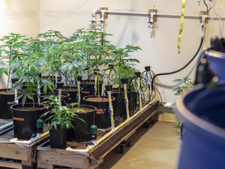Indoor Marijuana Plant Watering System