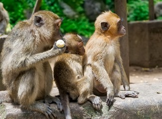 Group of macaque monkeys sitting together at Monkey Mountain