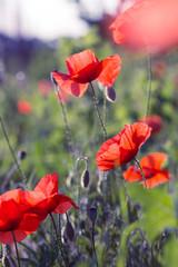 poppy field in a sunny day