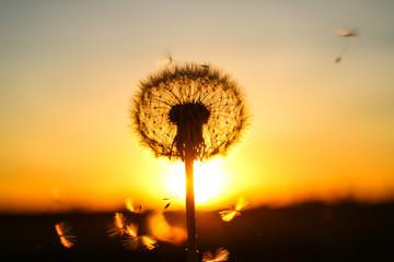 Photo sur Aluminium Pissenlit dandelion and orange sunset