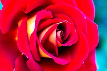 Summer Red Rose