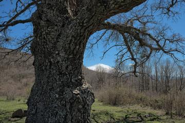 Wall Mural - Oak Tree Bark In Mountain Landscape Of Nebrodi Park, Sicily
