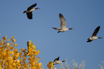 Flock of Canada Geese Flying Past a Golden Autumn Tree