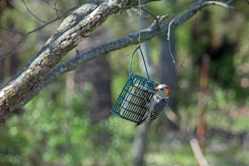 A red bellied woodpecker enjoys a meal at the suet feeder.