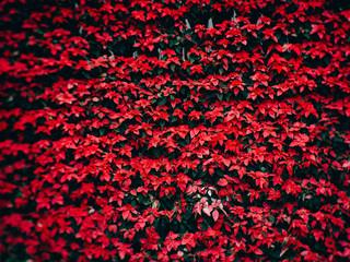 Red poinsettia christmas flower in the garden