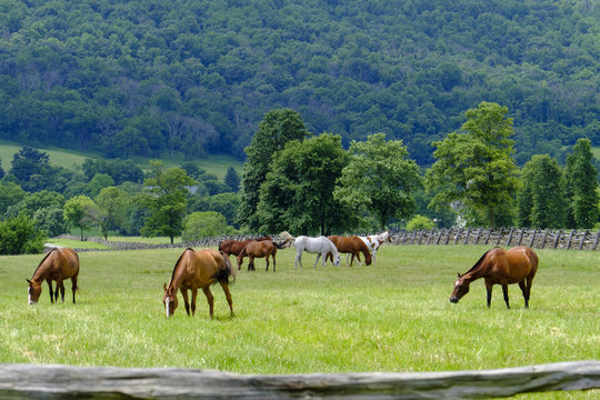 Grazing horses in Virginia countryside