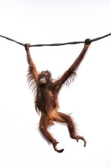 Foto op Canvas Aap Portrait of a hairy orangutan swinging from a wine against the bright sky. Singapore.