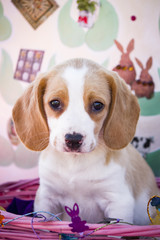 Lemon Yellow Beagle Puppy in a Pink Spring Basket in front of an Easter Background