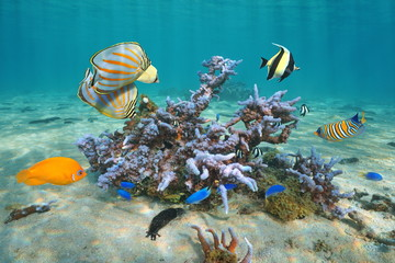Colorful tropical fishes with Montipora coral underwater, Pacific ocean, Polynesia, Cook islands