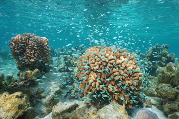 Corals and a shoal of small blue fish underwater ( blue-green chromis damselfish and cauliflower coral), Pacific ocean, Polynesia, Cook islands