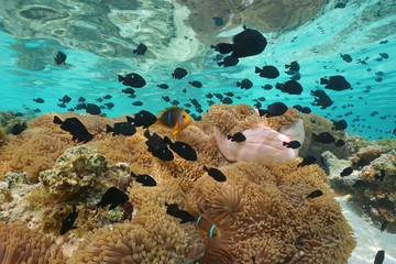 Underwater a school of tropical fish ( mostly damselfish with some clownfish ) and sea anemones, lagoon of Huahine island, Pacific ocean, French Polynesia