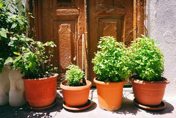 Fresh basil in orange pots