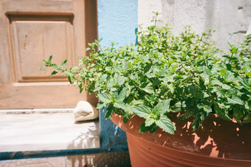 Fresh mint in a pot, old door at the background