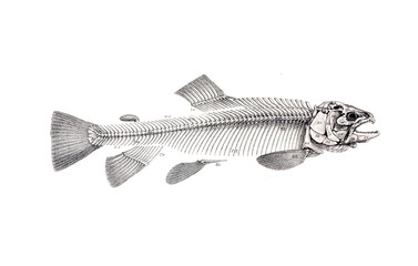 illustration of salmon