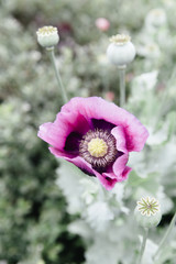 Pink and purple poppy blowing in the wind.
