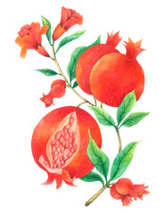 Pomegranate Vine watercolor isolated  on white background , Hand drawn painted for Greeting Card ,Wallpaper ,Postcards, Product,Packaging and more