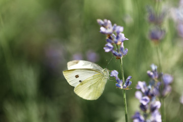 butterfly on flower of lavender