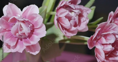 Panoramic Video Of Close Up Tulips Are Pink Terry In A Bouquet With