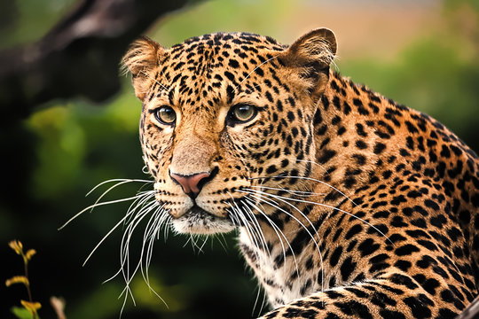 Javan leopard close up