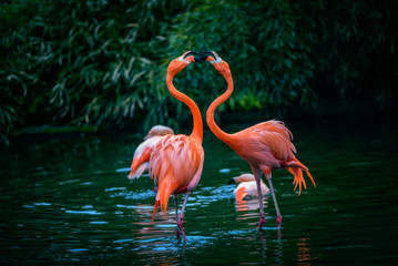Two Caribbean Flamingos in fight
