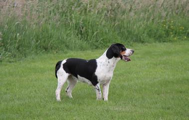 A Very Smart Basset Hound Hunting Dog.