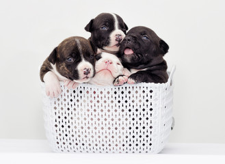 small puppies of American staffordshire terrier in a basket