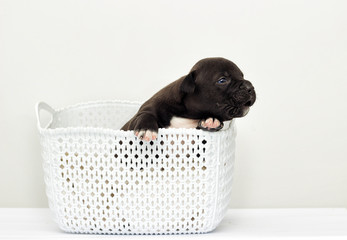 small puppy of the American staffordshire terrier in a basket
