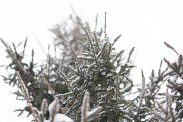 Winter background, close up of frosted pine branch on a snowing day